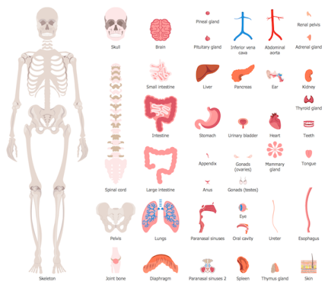 HEALTH-Human-Anatomy-Design-Elements-Human-Organs